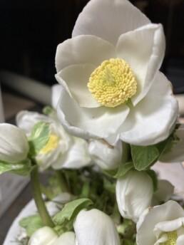 Christrosenblüte