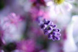 Lavendel im Detail