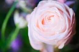 wunderschöne Rose