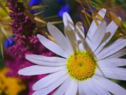 Margeriten und Blumen
